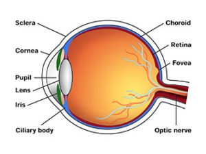 Eye Parts, Main Eye Parts and their Functions| Human Eyes Functions